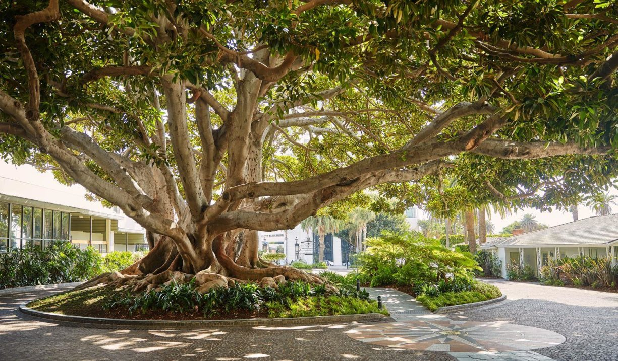 Fairmont Santa Monica History: Beneath the Fig Tree